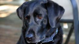Labrador Annie