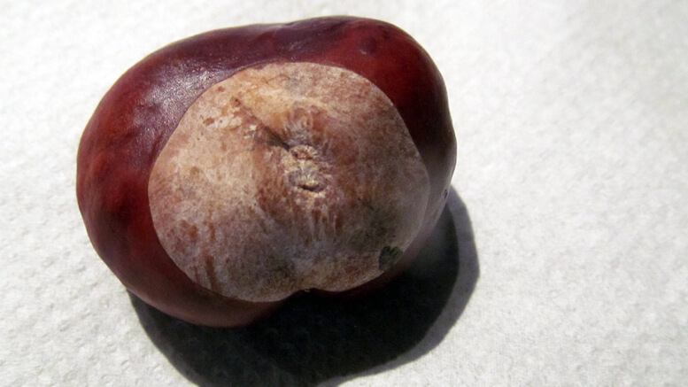 A conker/horse chestnut