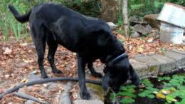 A black labrador